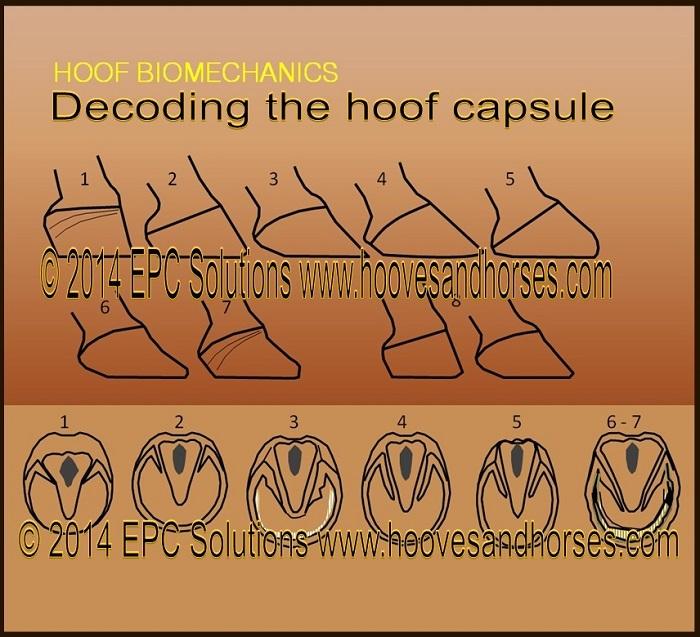 8 hoof types diagram